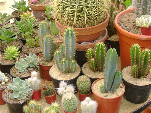 how to make a cactus garden  botanistbook, Natural flower